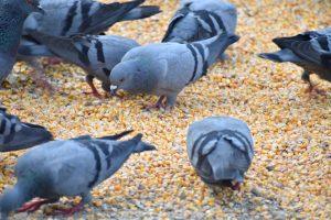 pigeons-2527989_1920-300x200
