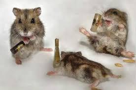 images rat
