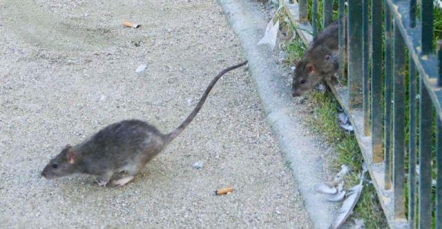 rat_a_paris_sipa